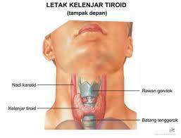 obat herbal kelenjar tiroid